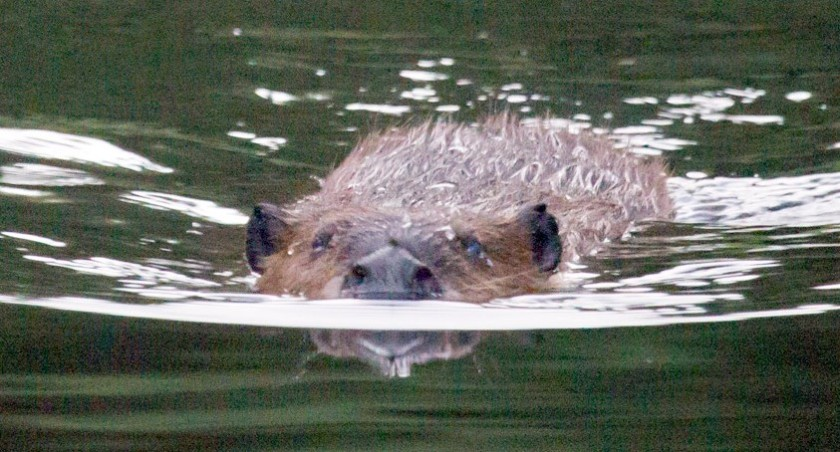 beaver-swimming