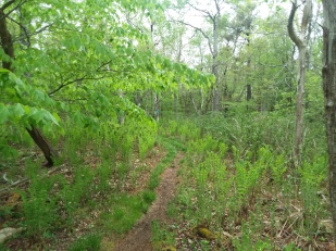 Ferns have not yet overspread the forest floor.