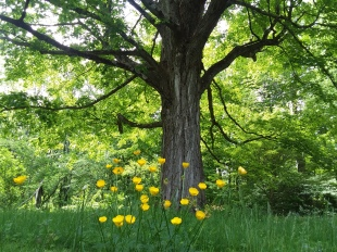Fresh buttercups and venerable tree, two botanical strategies of life.