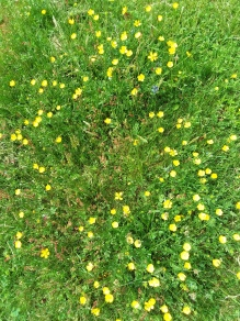 Buttercups are now the dominant yellow in the landscape.