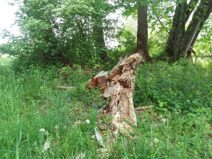 Where another old tree has recently fallen.