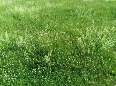 The field has gone to bedstraw and varieties of clover.