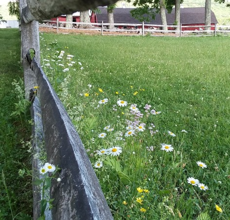 Where daisies and buttercups bloom along the fence line.