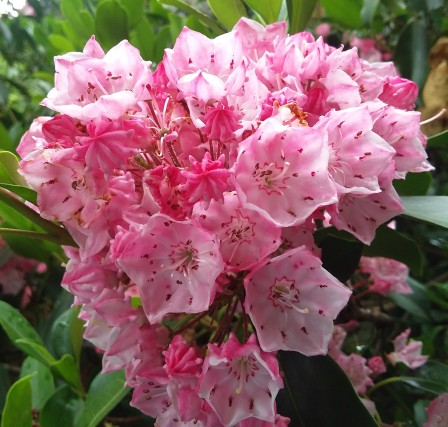 And finally close enough to really show to advantage. Wish I hadn't lost a similar close-up portrait of rhododendron blossom.