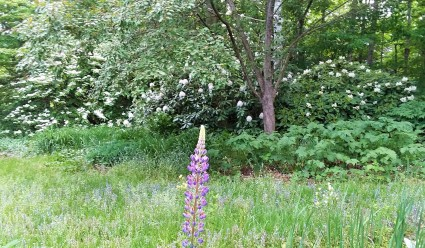 In early June, the lupines are coming in and the rhododendrons and viburnum are in full bloom.