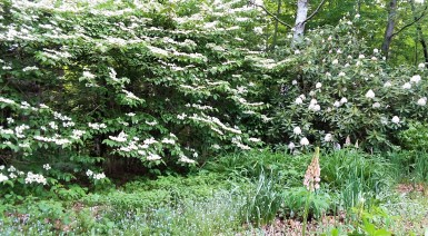 These bushes are so white, my cellphone camera can't capture their full dazzle. You'll have to take my word that I had a sharp picture of a single rhododendron blossom that must have been deleted inadvertently.