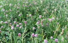 Lots of nutritious clover in this hay-to-be.