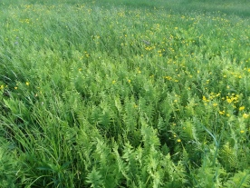 While buttercups mingle with the ferns.