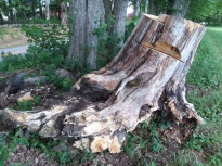 This old fossil of a tree collapsed from root rot, and was excavated by farmer.