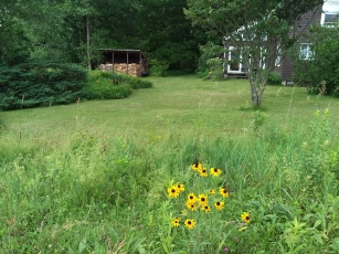 Turn around and see the yard. Black-eyed Susans hanging on - too bad that whole hillside of them was mown down weeks ago.