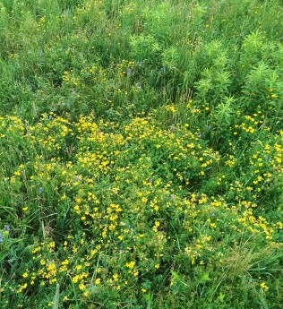 Bird's-foot trefoil dominates the mid-July meadows.