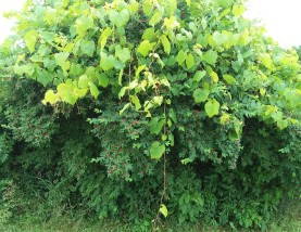 But sometimes the invasive is invaded, here as grapevine overspreads.