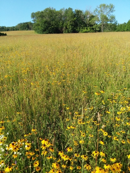 Where black-eyed-susans have claimed the field.