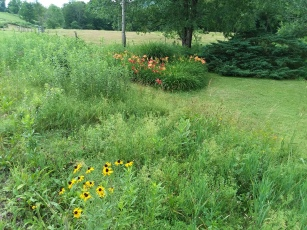 Look to the left and see the daylilies coming in.