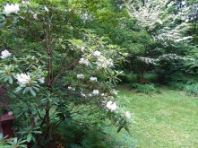 Reverse angle and see the dogwood, long-reigning queen of the garden.