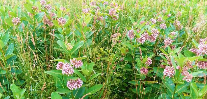 Now turn around and check out this spread of milkweed blossoms.