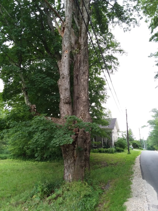 Could the tree be as old as the schoolhouse?